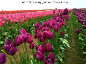 Tulip Festival | Skagit Valley